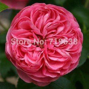 Piano Rose parfum 100 graines de fleurs