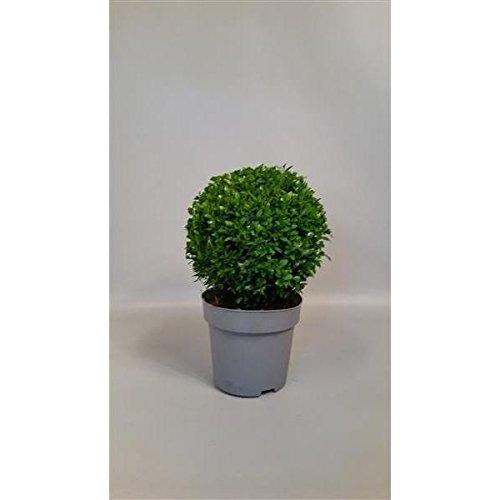 Buchsbaum Buxus microphylla