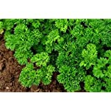 Kitchen Garden Hub Parsley Forest Green Triple Curled Culinary Herb , Organic 100 Seeds Pack