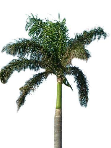 Königspalme (Roystonea regia) 10 Samen