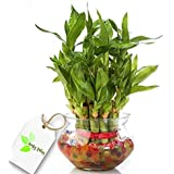 Leafy Tales 2 Layer Lucky Bamboo Plant with Glass Bowl and 7 Color Jelly Ball Free