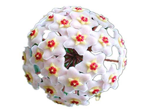 KINGDUO 20Pcs/Pack Hoya Semi In Vaso Seme Hoya Carnosa Fiore Seme Giardino Piante-06
