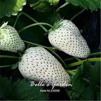 100pcs 9 variétés Choix Strawberry Graines Fraise Fruit Graines pot Bonsai Balcon Patio Jardin Plante Bricolage Blanc