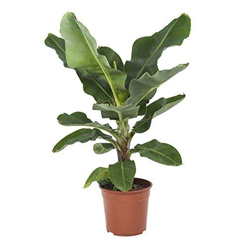 FloraAtHome - Grünpflanze - Musa ingens - Bananenpflanze - 80cm hoch