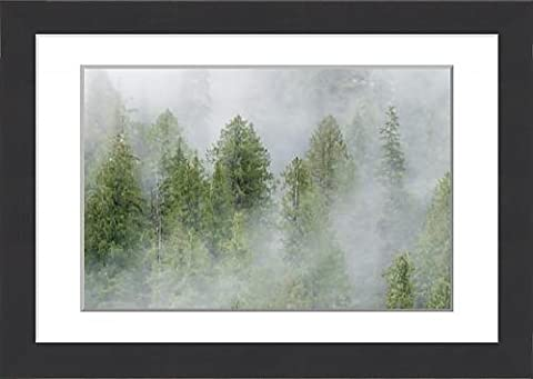 Framed Print of Mist covered pine trees in Great Bear
