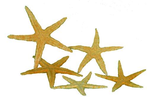 5 echte amerikanische Seesterne flach ca. 7-10cm -