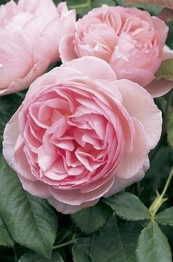 'Heritage' -R-, Englische Rose im 4 L Container