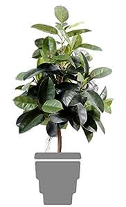 Spazio 1573-1571 verde Ficus Elastica Verde 110 centimetri