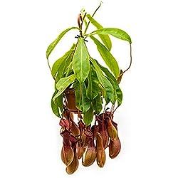 Kannenpflanze 40-55 cm im 14 cm Topf hängende Zimmerpflanze für die Fensterbank Nepenthes alata 1 Pflanze