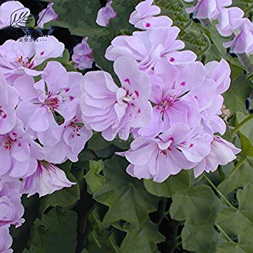 Visa Store 2018 Heißer Verkauf Davitu Geranium Light Pinkish White Doppelblütenblätter mit lila Flecken Nahe zu Center Flowers 10 Samen mehrjährige Garten