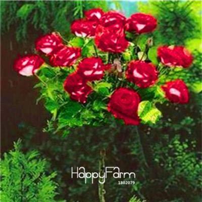 Der niedrigste Pr! 100 PC/bag echte Frische Seltene Rosa Dendroidal ROSE Baumsamen Mix Farbe leuchten Ihrem Garten
