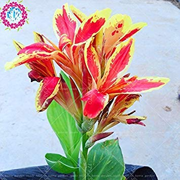 Galleria fotografica varietà 11.11New 5pcs vero% Canna indica bonsai seeds.Perennial tropicale all'aperto Big lascia semi di piante fiore per giardino di casa 4