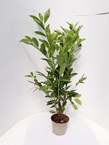 10 Kirschlorbeer Pflanzen, Prunus Novita, Höhe: 90-100 cm ab Topfoberkante