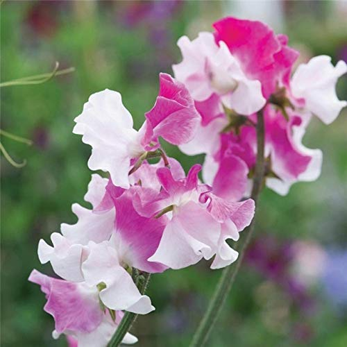 Petedelite Sweet Pea Seeds Gartenblumen-Bonsais, die Blte, 20pcs Farbe klettern China Sweet Pea