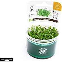 Dennerle Plant it Invitro Live Aquarium Plant–Glossostigma Elatinoides–in-vitro & gamberetti Safe