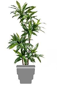 Spazio verde 11231-71 Janet semplice Dracena fragrans, 95 cm, verde