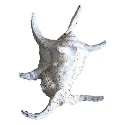 eine Lambis chiragra ca. 18 bis 25cm Großer Bootshaken Muschel