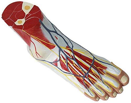 SFHK 1:1 Human Anatomy Modell Für Fuß- Und Neurovaskuläre Bänder Anatomisches Gelenkmuskel-gefäßband-Modell, Medizinische Ausbildungshilfe