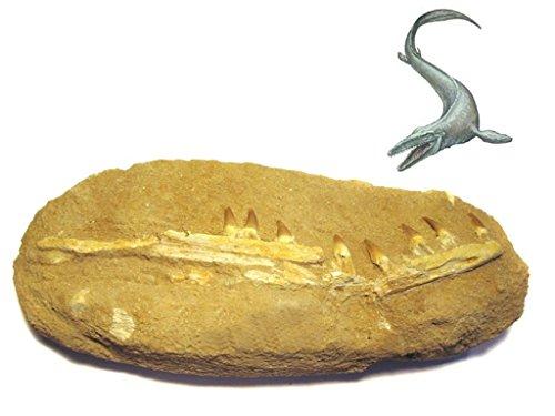 wunsch-lounge Dekoration ( 1 Stück ) Fossil versteinerte Kieferfragmente , Mosasaurus ( Kreidezeit...