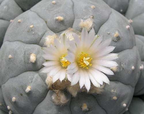 Exotic Plants Lophophora williamsii v Charco Blanco - Peyotl - cactus San Pedro - 10 graines