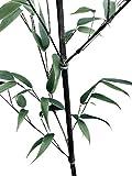 150 Samen vom Schwarzen Bambus -Phyllostachys nigra- *Winterhart*