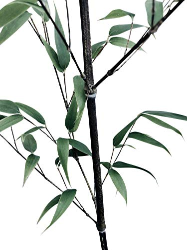 Winterharter Pech-Schwarzer Bambus 100 Samen Schwarzer Bambus