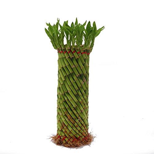 Ugaoo Fengshui Wheel Lucky bamboo Plant