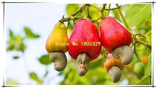 Pinkdose Bon marché Chine 5Seeds Cashew arbre Graines Anacardium Tropical New Pot Occidentale Plantation Gardens Miracle Fruit Graines Livraison gratuite