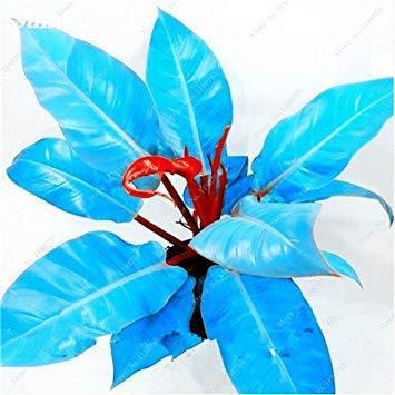Vistaric 100% Autentico 100 Pezzi Semi di filodendro di Colore raro, Foglia di Vite, pianta perenne di Bonsai Seme di Albero di filodendro Illumina Il Tuo Giardino 2