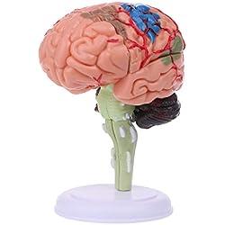 Luohuifang-4D scomponibile anatomica modello cervello umano anatomia medica strumento didattico statue sculture Medical School use-sperimentali insegnamento aiuto