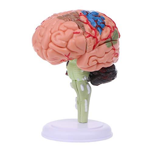 Luohuifang - 4D zerlegtes anatomisches menschliches Gehirn Modell Anatomie Medizinische Lehrhilfe Statuen Skulpturen Medizinische Schule Verwendung - Experimentelle Lehrhilfe - Pflanzenteile