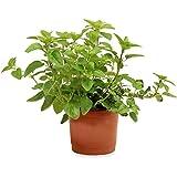 Sin marca Orégano (Maceta 10,5 cm Ø) - Planta Viva - Planta aromatica