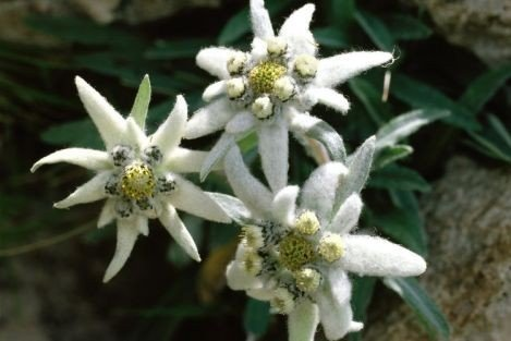grow-your-secret-garden-alpine-leontopodium-alpinum-edelweiss
