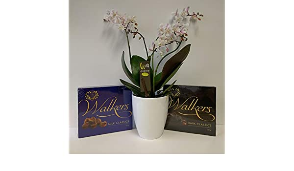 Orchid Plants Live Plants Brilliant Gifts for Birthdays//Special Occasions White Wild Orchid in White Ceramic Orchid Pot with Boxes of Chocolates