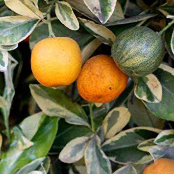GEOPONICS Seeds - Citrofortunella Mitis Variegata Seeds