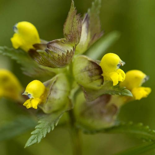 Plant World Seeds - Rhinanthus Minor Seeds