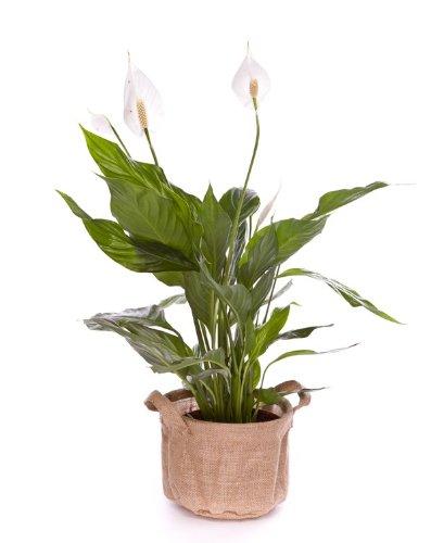 Spathiphyllum 50