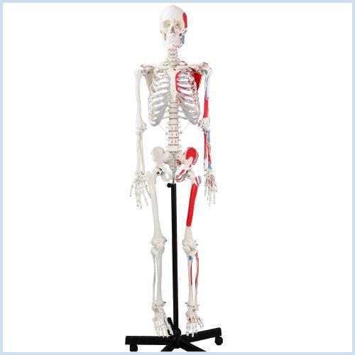 Zoom IMG-1 s24 1120 scheletro con illustrazione