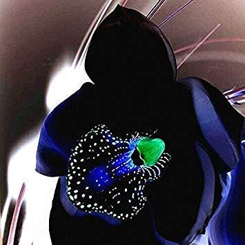 Sellify Egrow 100 PCS Rare Black Orchid Graines de fleurs exotiques Orchid jardin Plantation Bonsai Graines