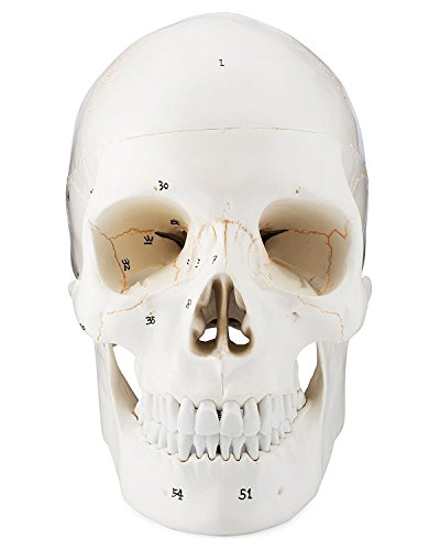 tomische Kopf Knochen Skull Bone Modell  Life Größe  nummeriert ()