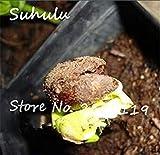 FERRY Semillas de Alto Crecimiento Solo no Las Plantas: Semillas Cushy-10 Semillas/Bolsa importada Baobab (Onia digitata) Seed s Outerdoor Semillas Bonsai Semillas orgánicas Crecen rápido 3