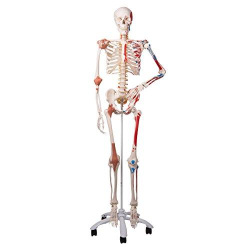 3B Scientific Menschliche Anatomie Skelett Sam - Luxusversion mit Muskelursprüngen und -ansätzen, nummerierten Knochen, flexiblen Gelenkbändern und flexibler Wirbelsäule mit Bandscheibenvorfall zwischen dem 3. und 4. Lendenwirbel - A13 lebensgroß