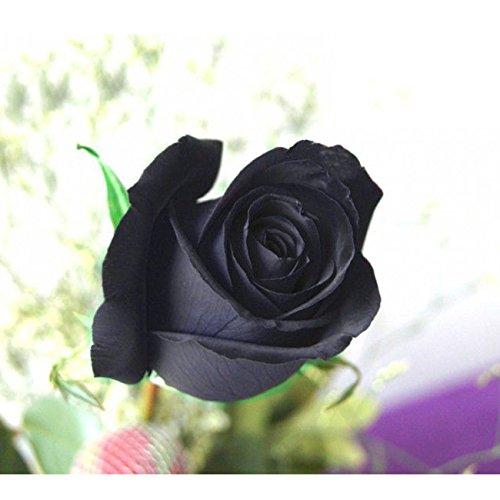 SSXY Black Rose Seeds, Rare Rose Graines Graines De Fleurs Pétales Plantes Maison Jardin Décor (100 Pcs)