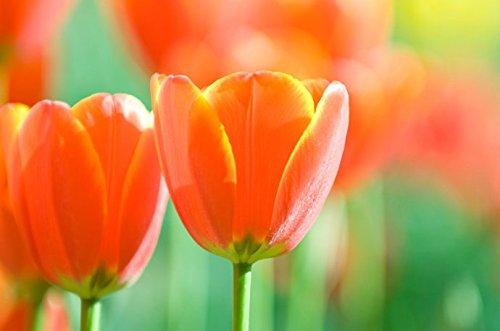 Toutes sortes de bulbes de tulipes belles fleurs de jardin sont appropriés pour les plantes en pot (il n'est pas une graine de tulipe) bulbes 2PC 14