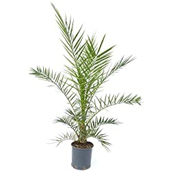 Palme 140-180 cm, XXL Phoenix canariensis, kanarische Dattelpalme