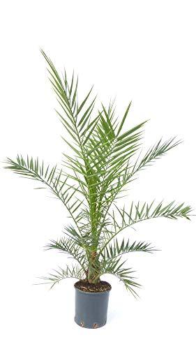 Palme 130-160 cm, XXL Phoenix canariensis, kanarische Dattelpalme