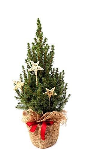 Geschmückter Weihnachtsbaum Zuckerhutfichte Picea glauca 'Conica' im Topf gewachsen (Jute mit Schleife und 3 Natursterne 40-50cm)
