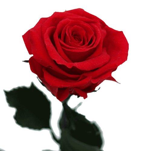 Rosa eterna – Rosa natural preservada – Color: Rojo
