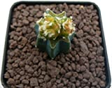 Portal Cool Samen Paket: Astrophytum myriostigma Bicefalo Variegato Hybrid kann nicht 7x7cm Rif 572 Kakn