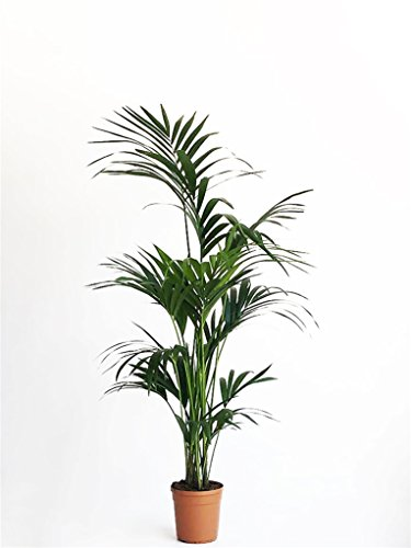 pianta vera verde da interno kentia hawaiana da appartamento ornamentale Ø 22 cm - h 160 cm